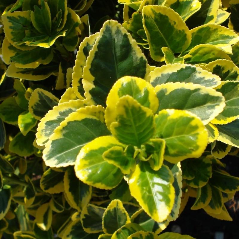 Vente en ligne de Fusain panaché jaune 'Aureovariegatus' 0