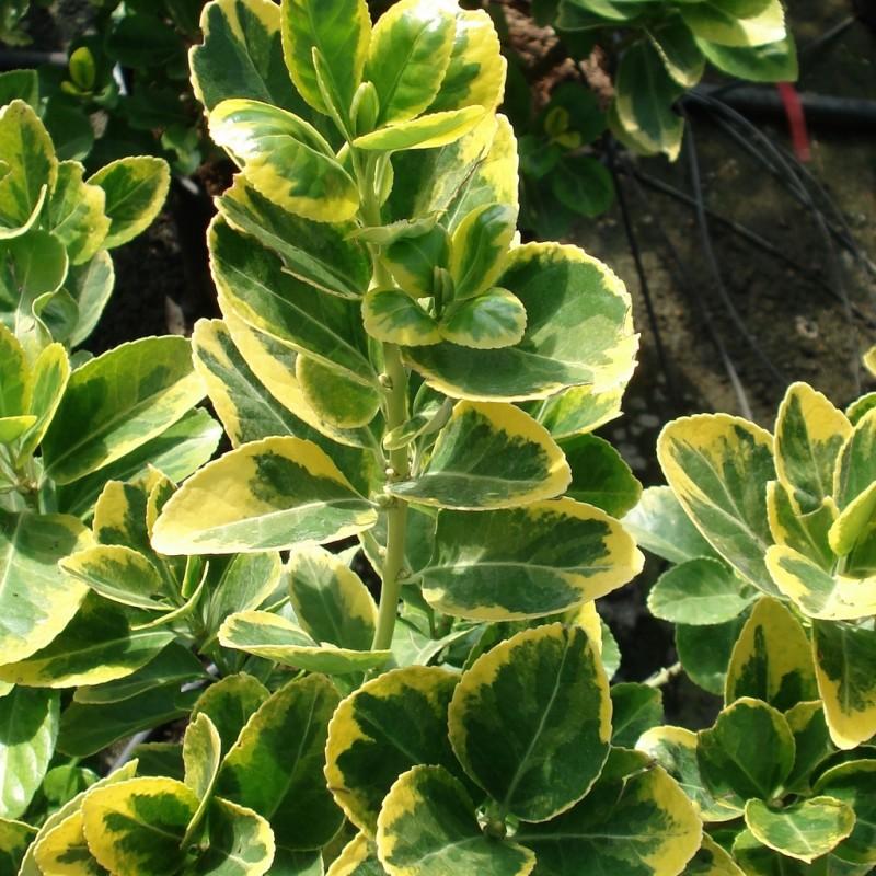 Vente en ligne de Fusain panaché jaune 'Aureovariegatus' 1