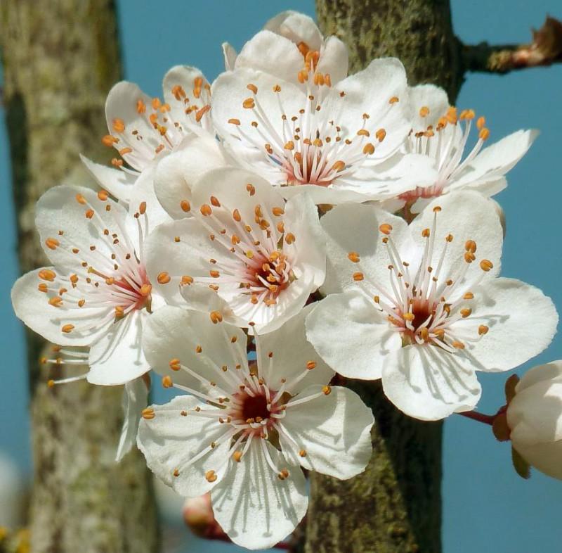 Vente en ligne de PRUNIER - Prunus domestica 'Damas violet' 1