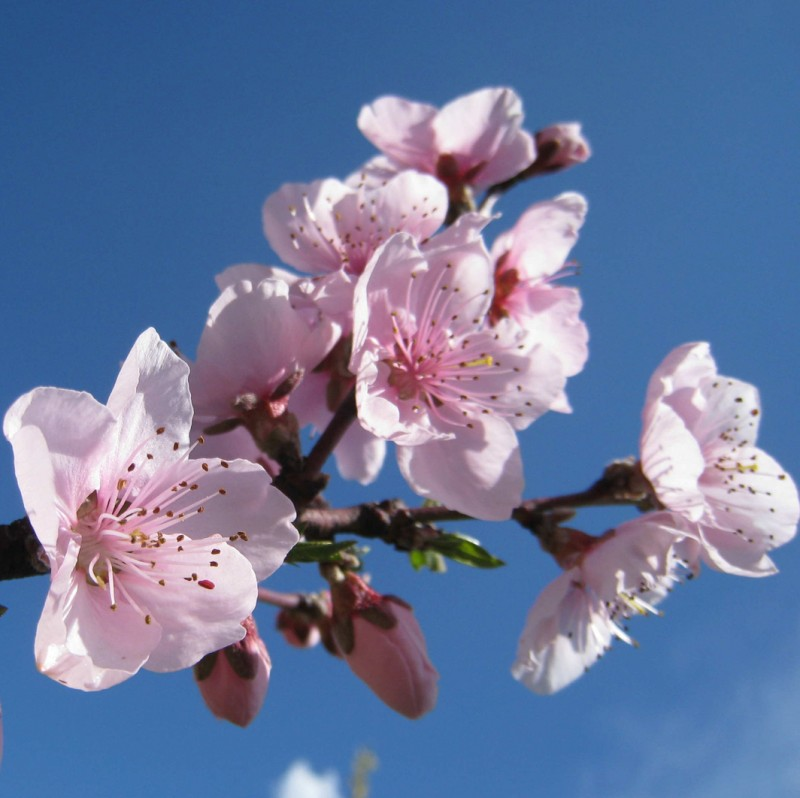 Vente en ligne de PECHER - Prunus persica 'Michelini' 0