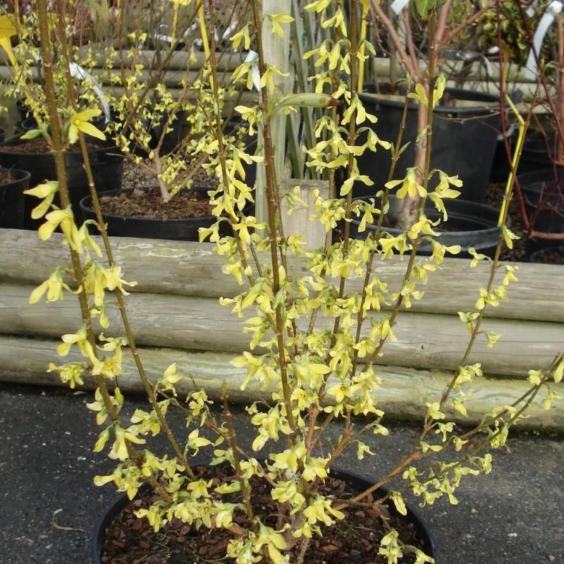 Vente en ligne de Mimosa de Paris Lynwood 1