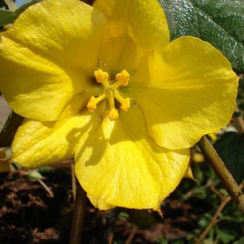 Vente en ligne de Fremotodendron 'Pacific Sunset' 0