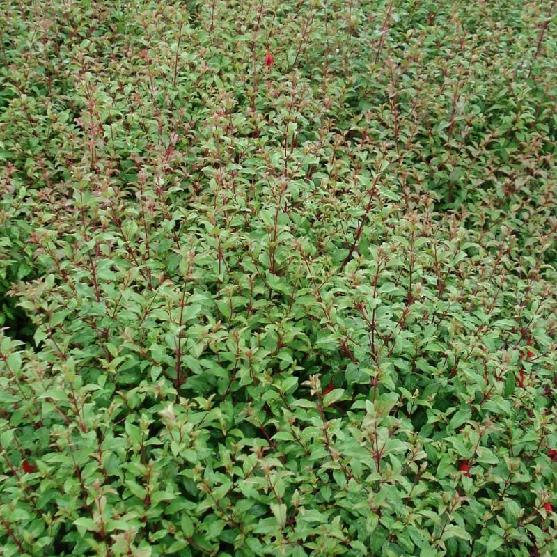 Vente en ligne de Fuchsia 'Riccartoni' 1