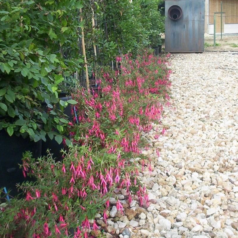 Vente en ligne de Fuchsia 'Riccartoni' 3