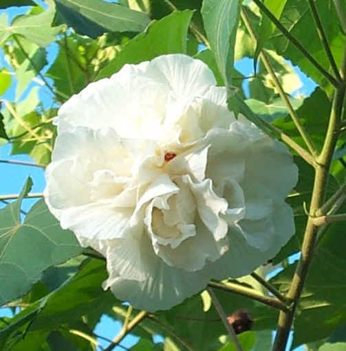 Vente en ligne de Althea à fleurs doubles blanches 0