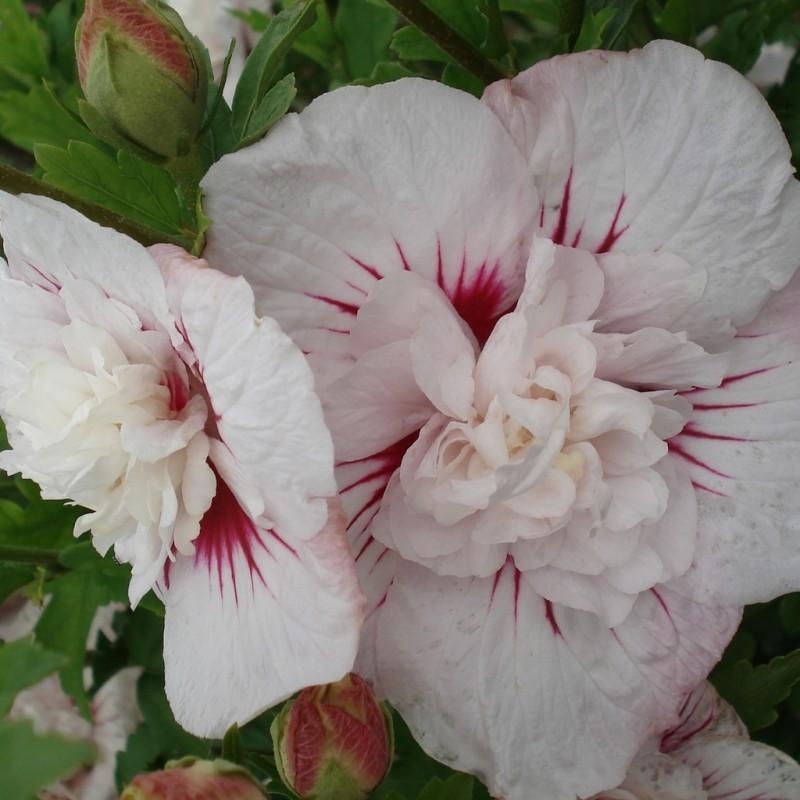 Vente en ligne de Althea à fleurs doubles blanc à cœur rouge 0