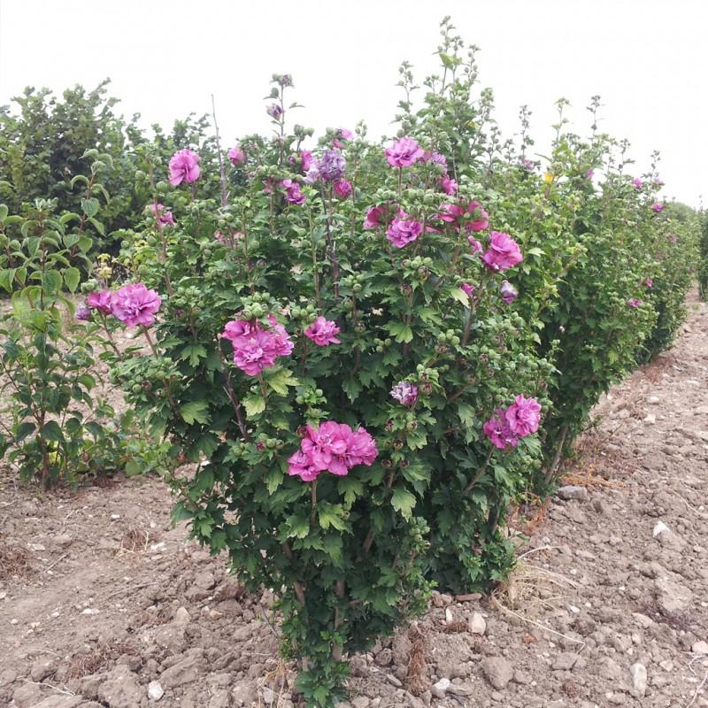 Vente en ligne de Althea à fleurs doubles rouges 1