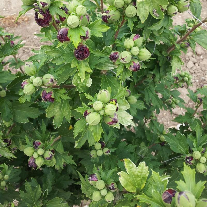 Vente en ligne de Althea à fleurs doubles rouges 2
