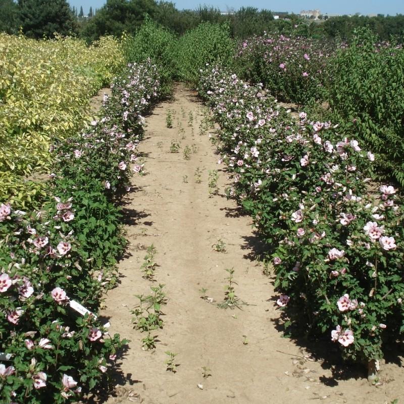Vente en ligne de Althea à fleurs simples rose à cœur rouge 2