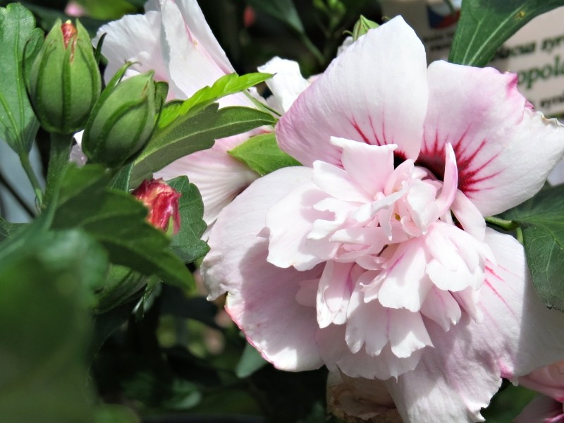 Vente en ligne de Althea à fleur double rose clair et rouge 0