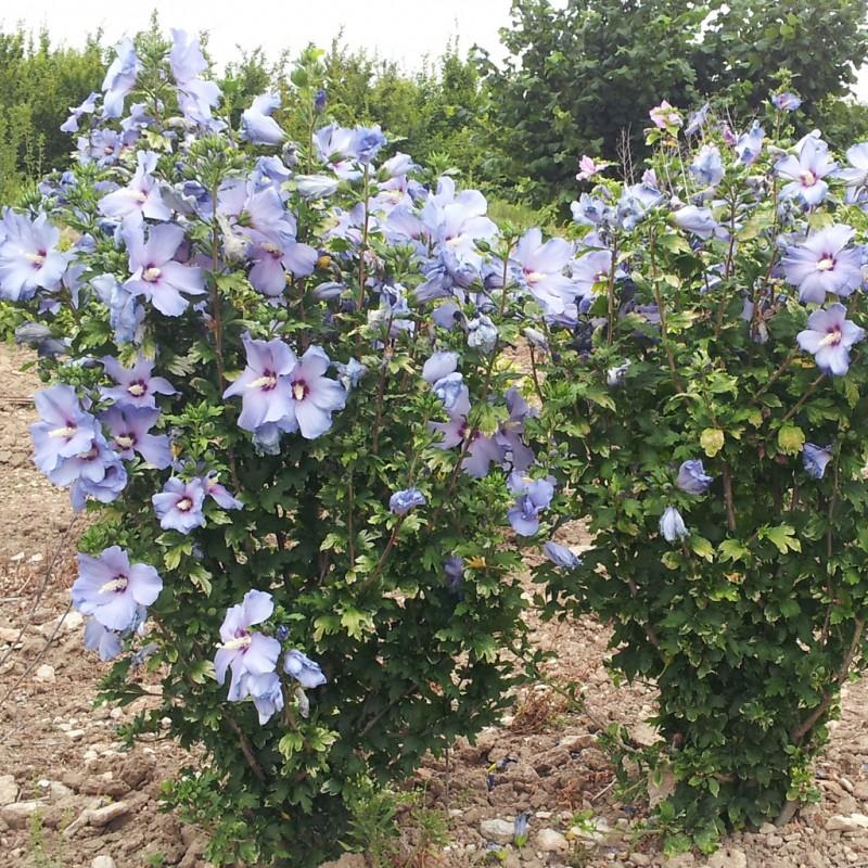 Vente en ligne de Althea bleu 1