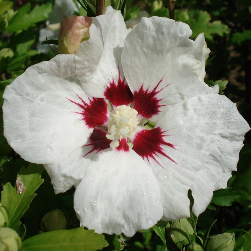 Vente en ligne de Althea blanc et rouge 1