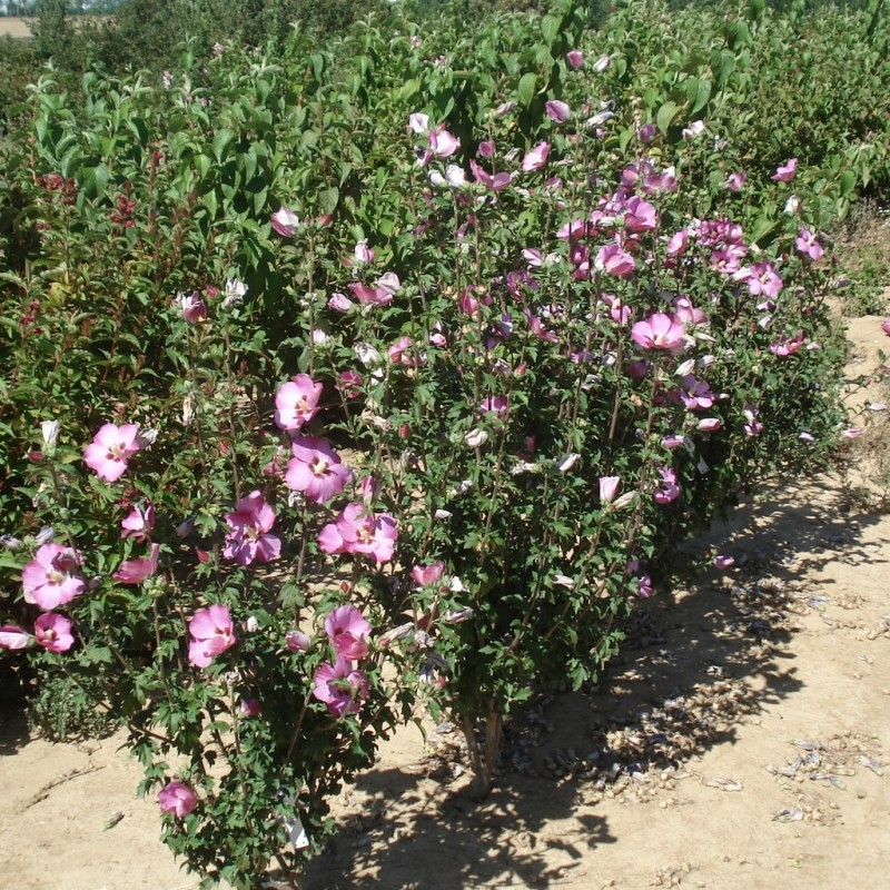 Vente en ligne de Althea rose 1