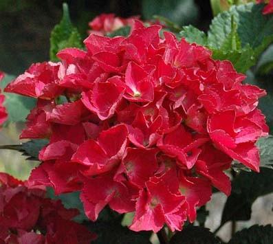 Vente en ligne de Hortensia rouge 0
