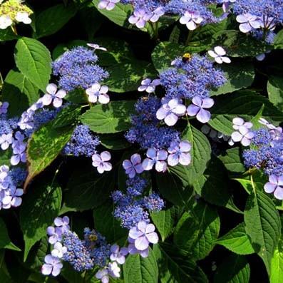 Vente en ligne de Hortensia serrata Blue bird 0