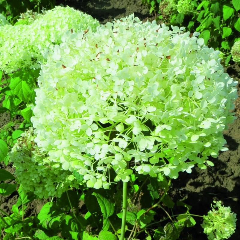 Vente en ligne de hortensia arbustif 1
