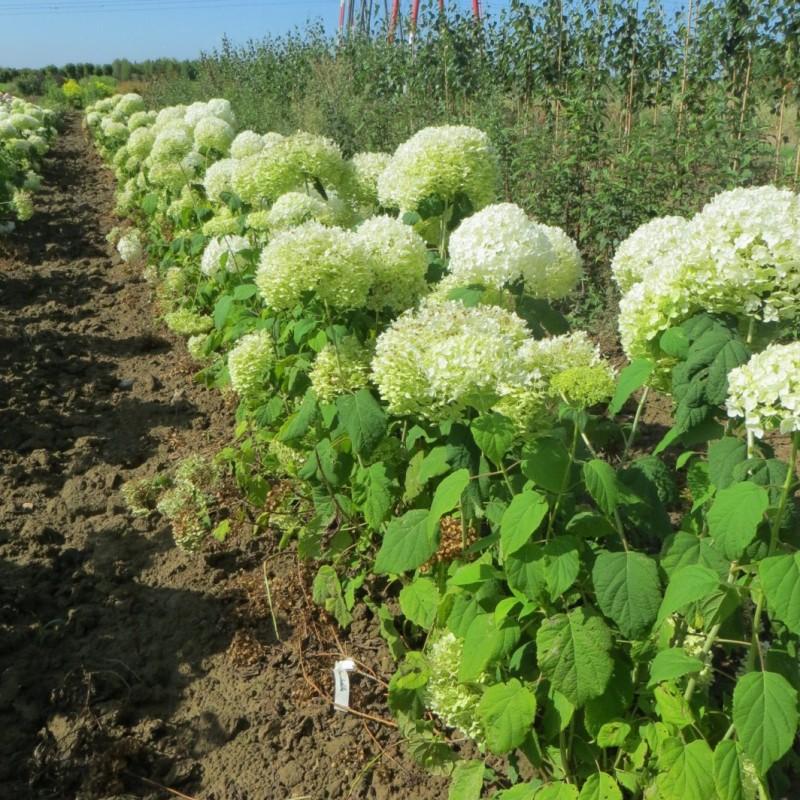 Vente en ligne de hortensia arbustif 2