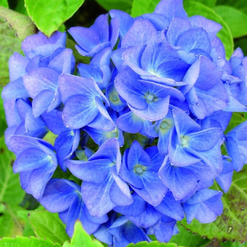 Vente en ligne de Hortensia bleu 0