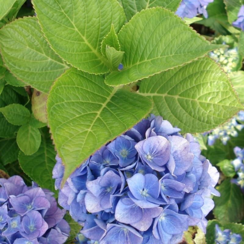 Vente en ligne de Hortensia bleu 1