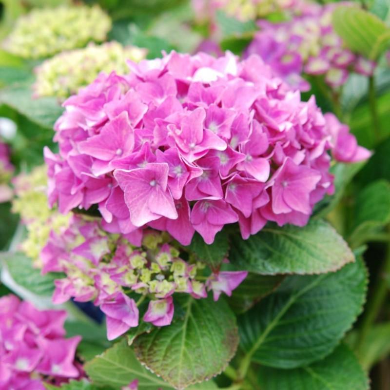 Vente en ligne de Hortensia rose 0