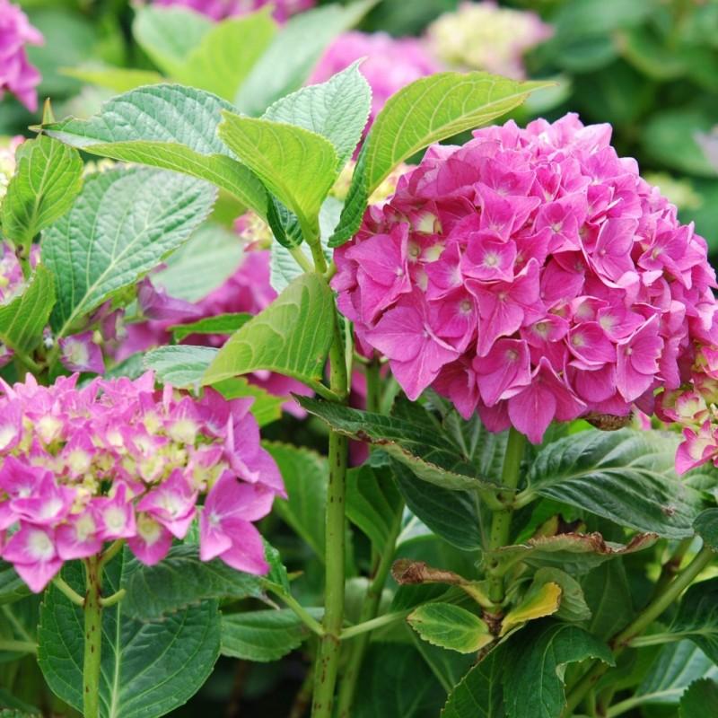 Vente en ligne de Hortensia rose 1