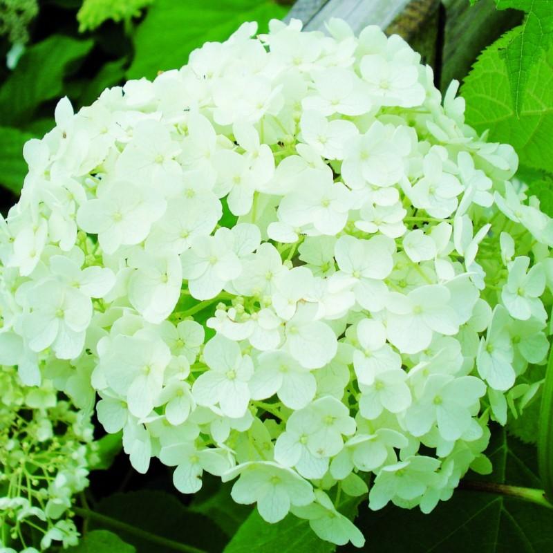 Vente en ligne de Hortensia Grandiflora 0