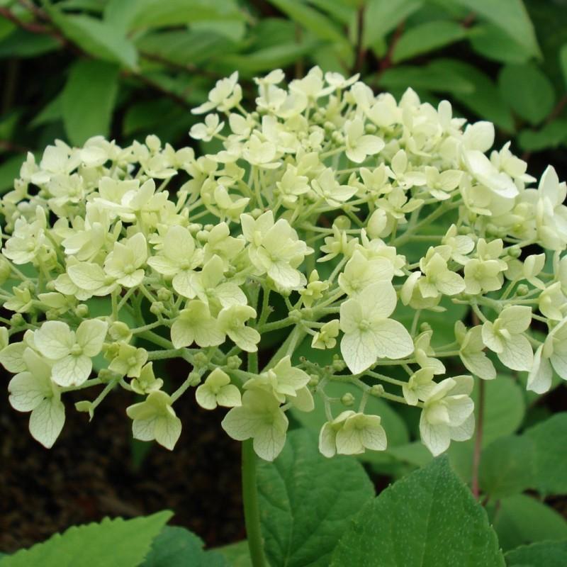 Vente en ligne de Hortensia Grandiflora 1