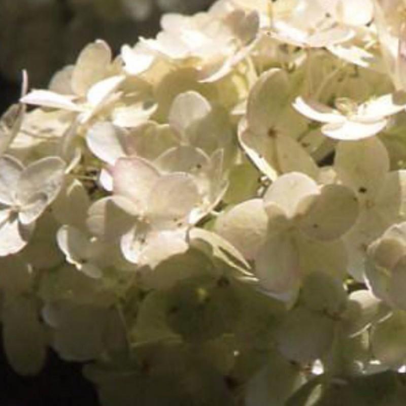 Vente en ligne de Hortensia à feuille dentées 0