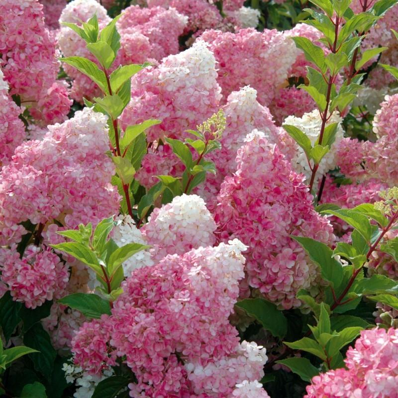 Vente en ligne de Hortensia paniculata vanille fraise 0
