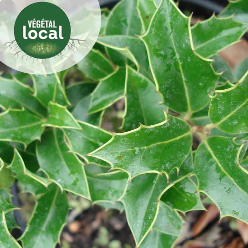 Vente en ligne de Ilex-aquifolium-2 1