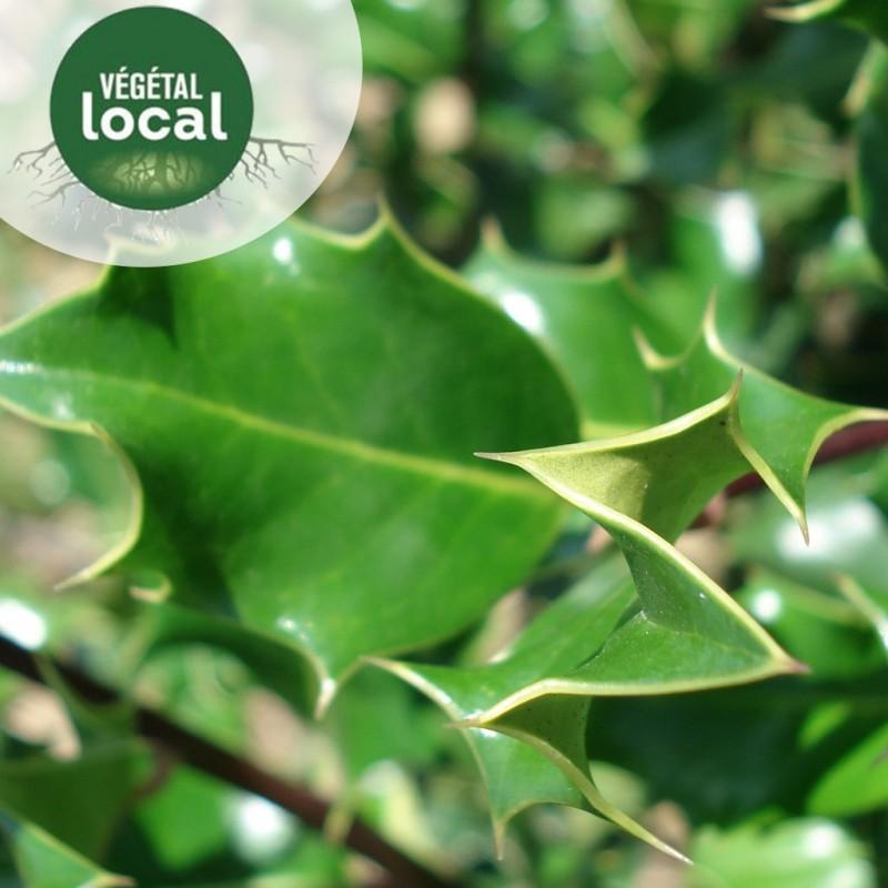 Vente en ligne de Ilex-aquifolium-2 3