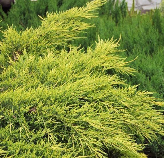 Vente en ligne de Juniperus Pfitzeriana aurea 0