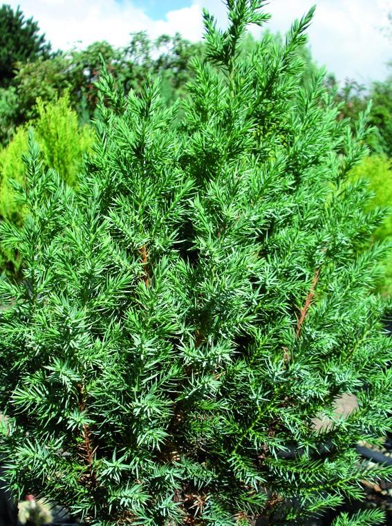 Vente en ligne de Juniperus Stricta 0