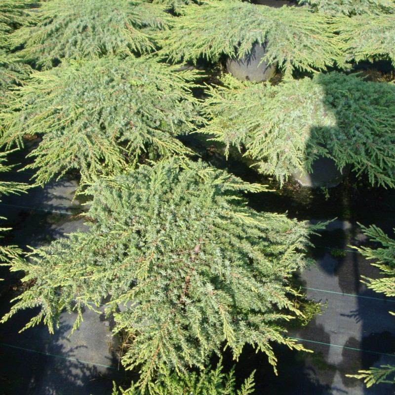Vente en ligne de Juniperus communis Green Carpet 0