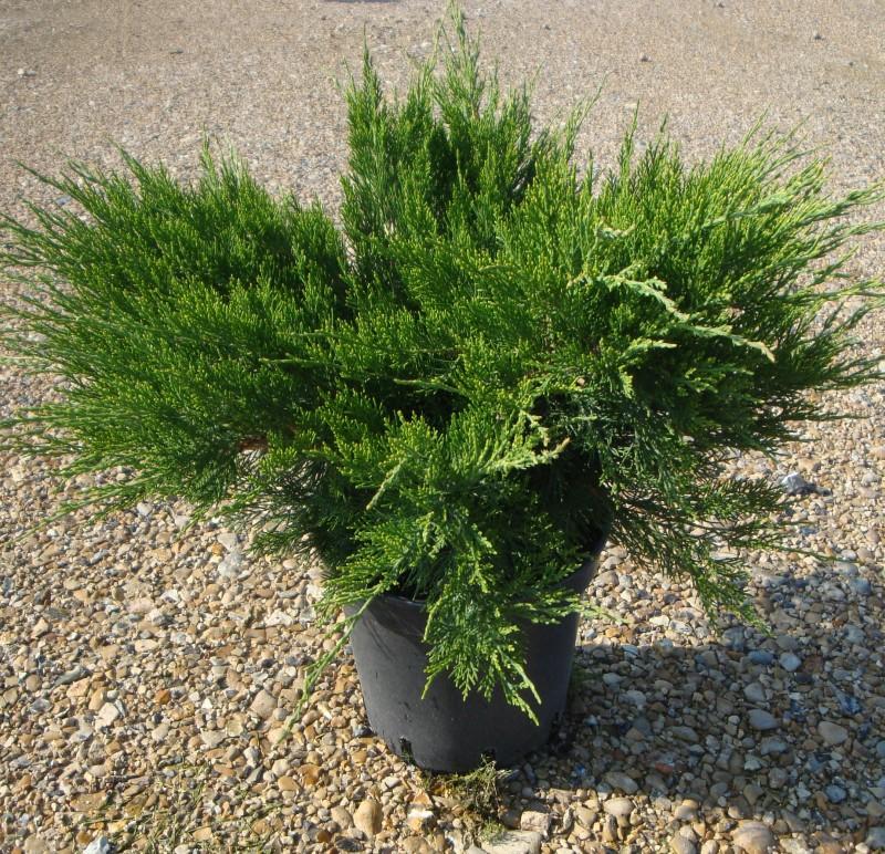 Vente en ligne de Juniperus Mint julep 0