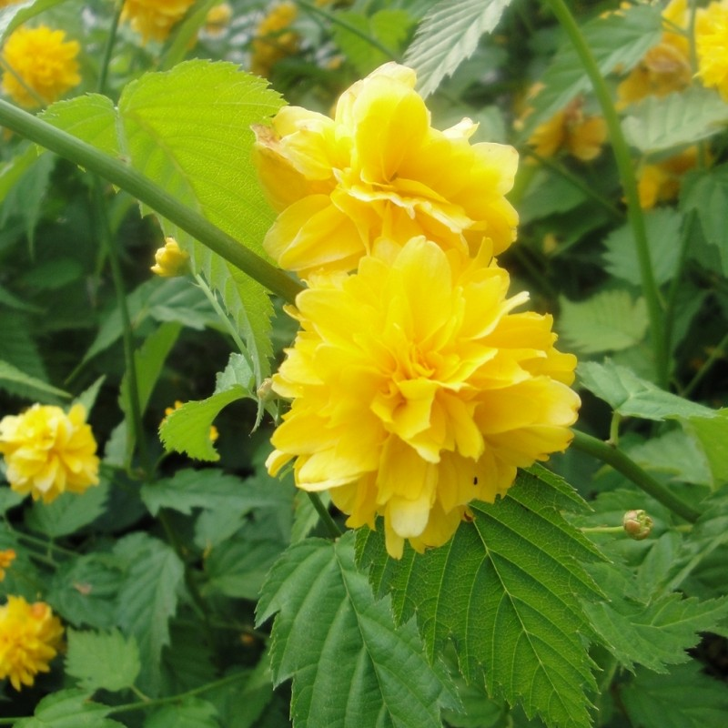 Vente en ligne de Corête du Japon 'Pleniflora' 0