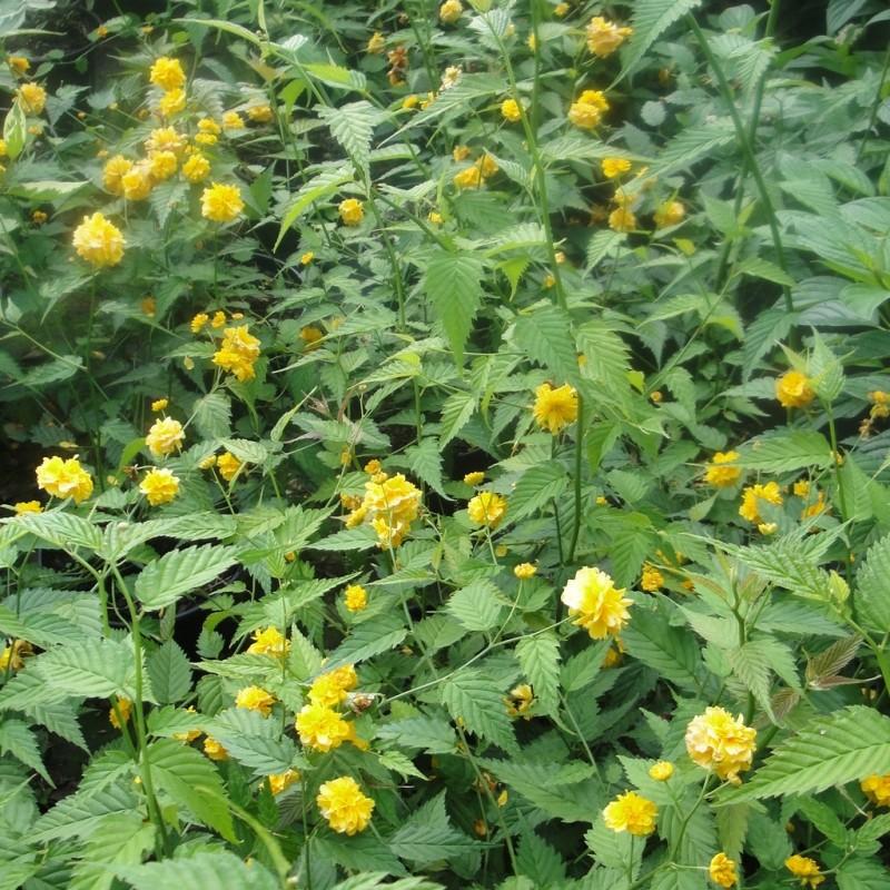 Vente en ligne de Corête du Japon 'Pleniflora' 1