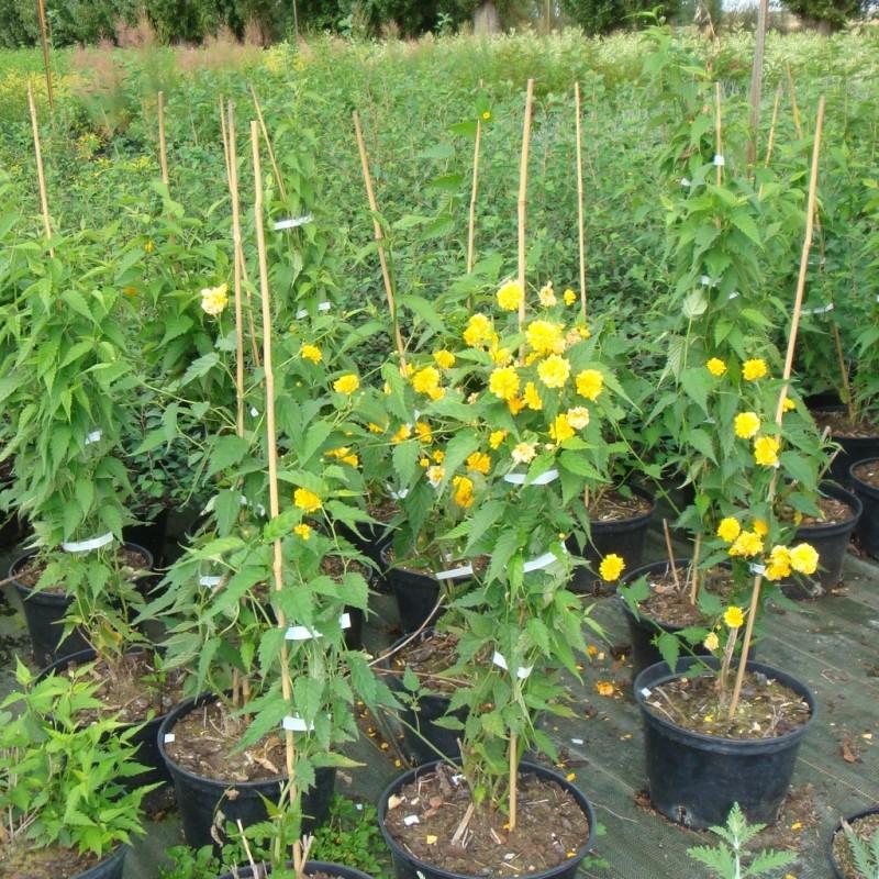 Vente en ligne de Corête du Japon 'Pleniflora' 2