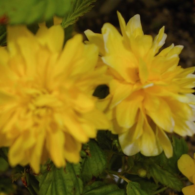 Vente en ligne de Corête du Japon 'Pleniflora' 3