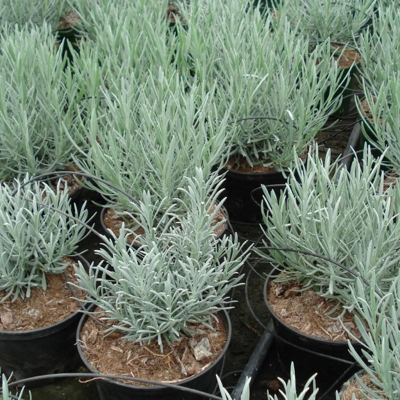 Vente en ligne de Lavande commune 'Dutch lavender' 1