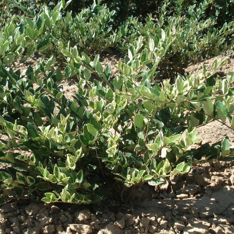 Vente en ligne de Troëne du Japon 'Texanum variegatum' 1