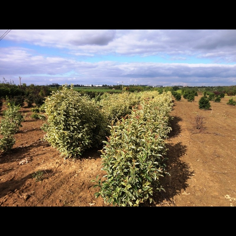 Vente en ligne de Troëne à grandes feuilles panachés 0