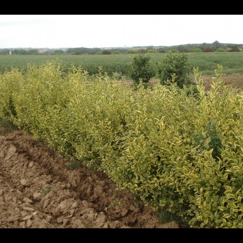 Vente en ligne de Troëne panaché de jaune 2