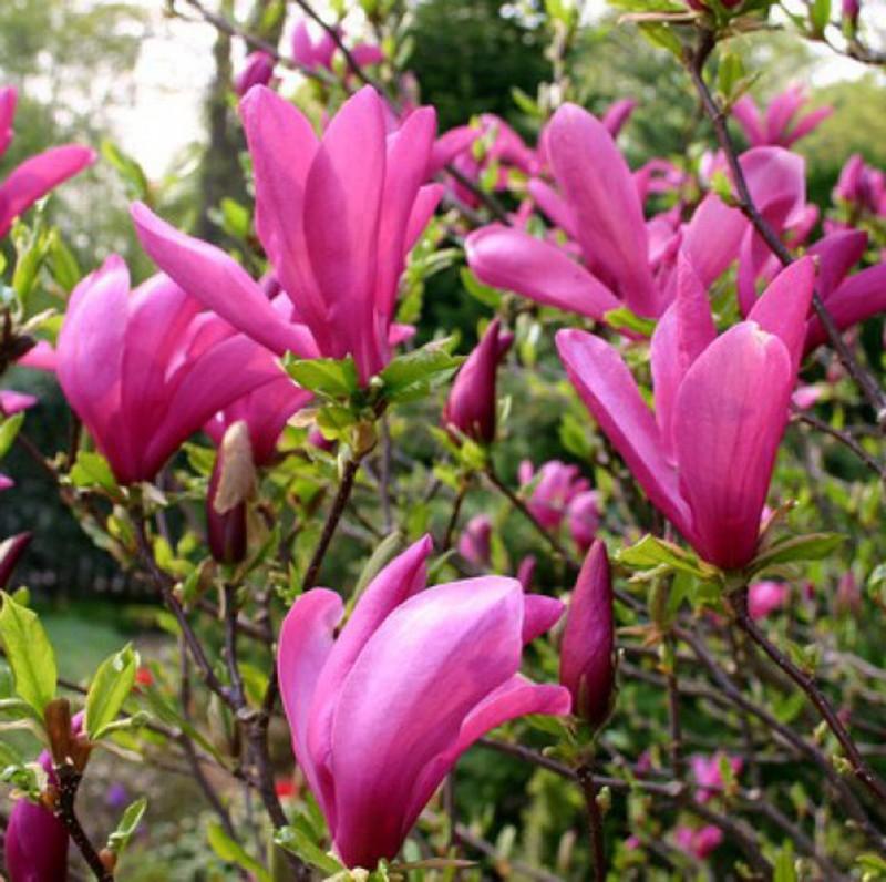 Vente en ligne de Magnolia liliflora Susan 1