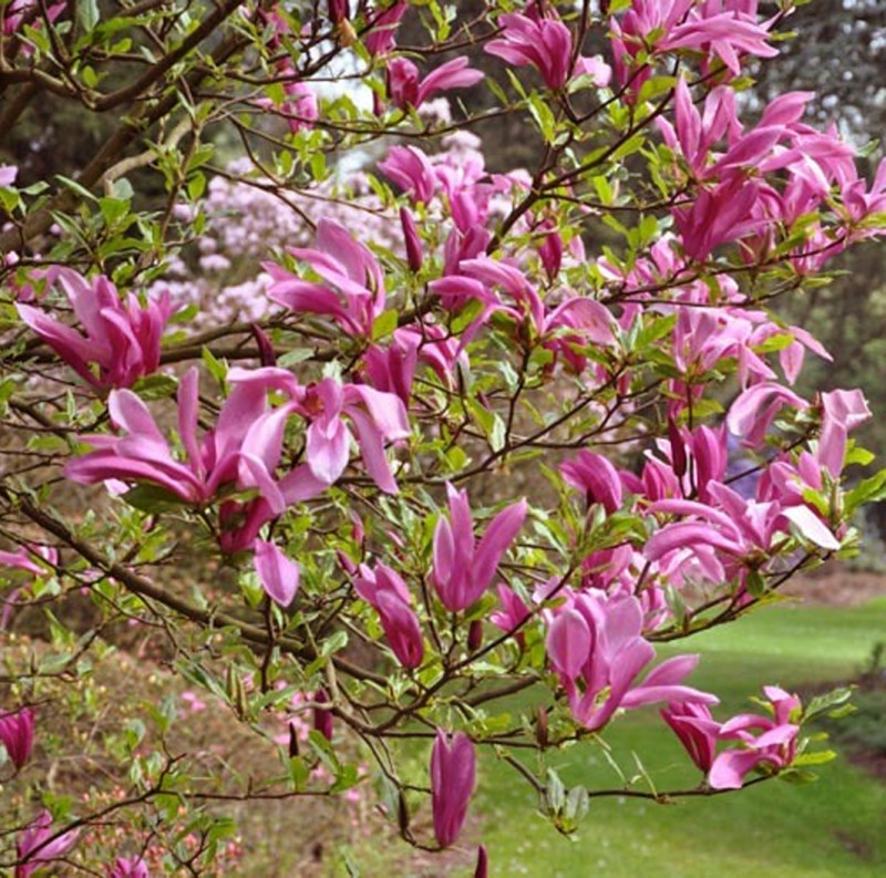 Vente en ligne de Magnolia liliflora Susan 0