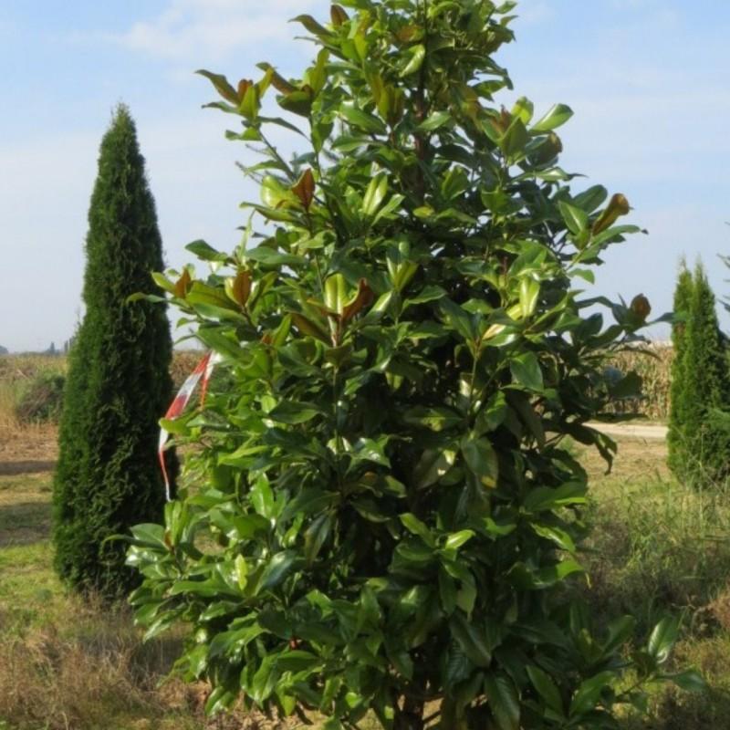 Vente en ligne de Magnolia 1