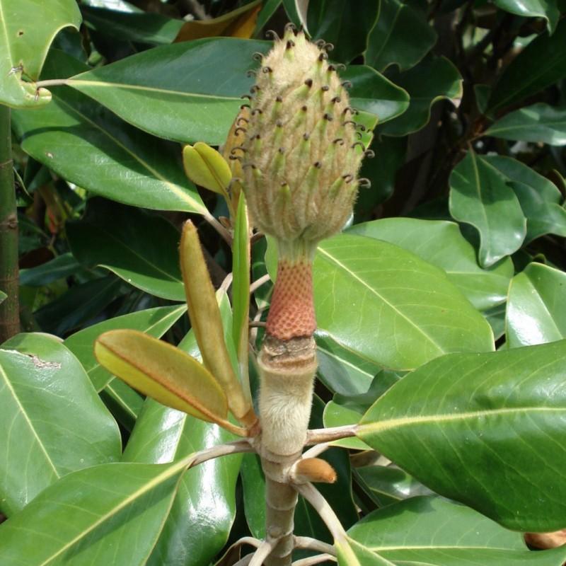 Vente en ligne de Magnolia 3