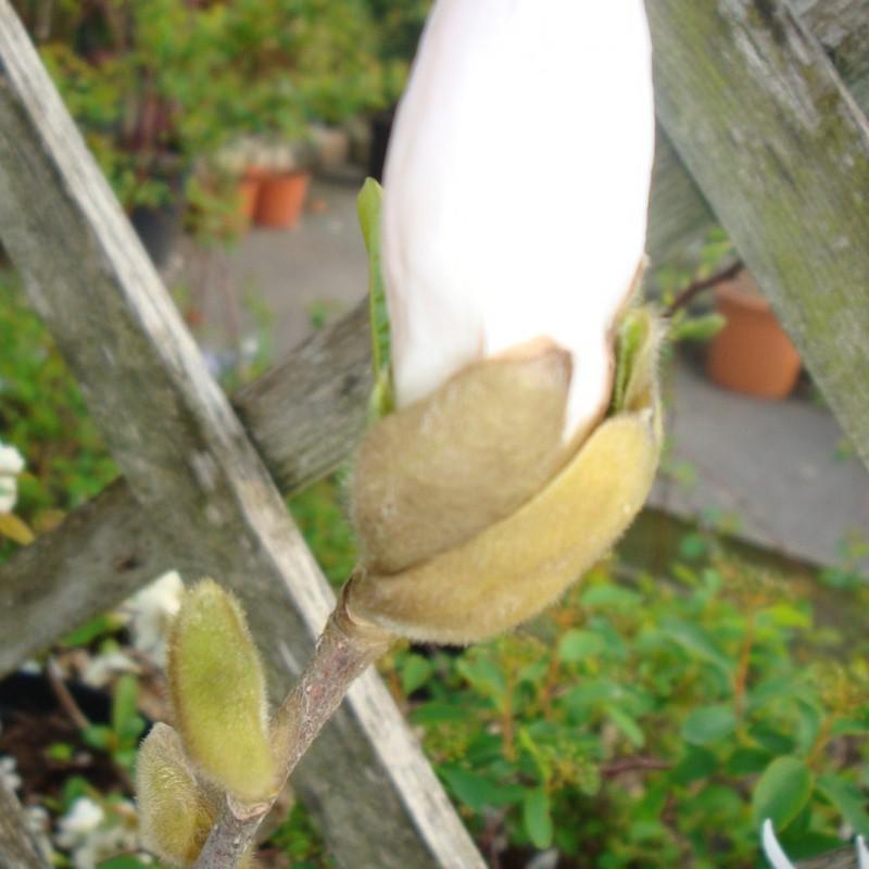Vente en ligne de Magnolia Stellata 2