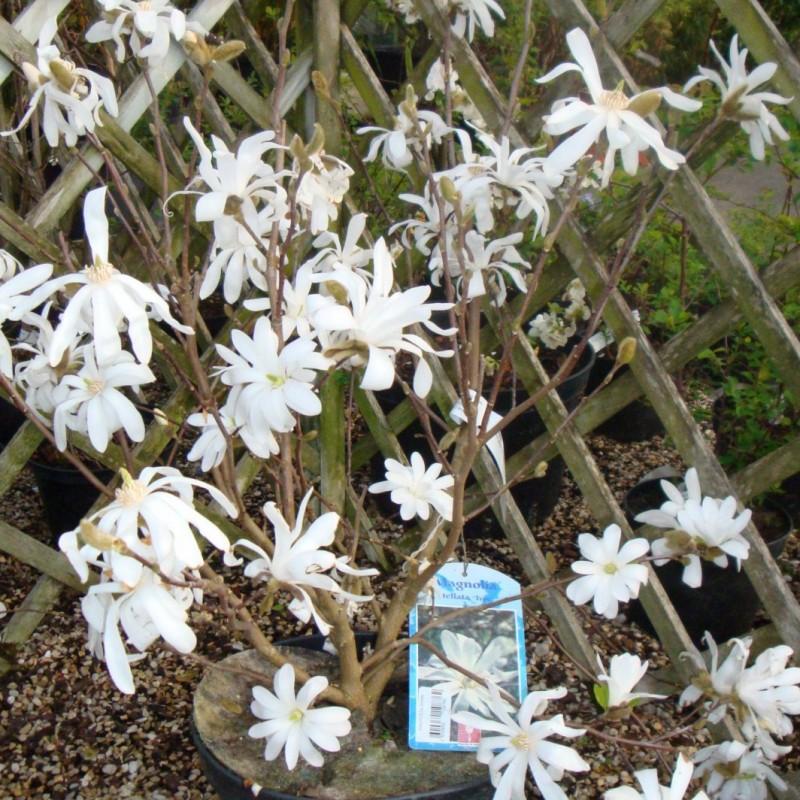 Vente en ligne de Magnolia Stellata 3