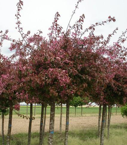 Vente en ligne de Pommier d'ornement pleureur à fleur pourpre 1